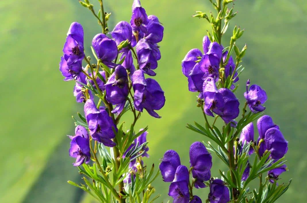 Цветы аконита