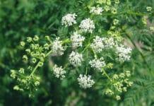 Растение болиголова