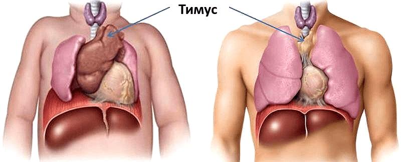 Анатомическое расположение тимуса