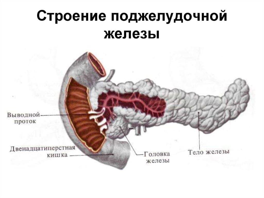 Строения человека поджелудочная картинка