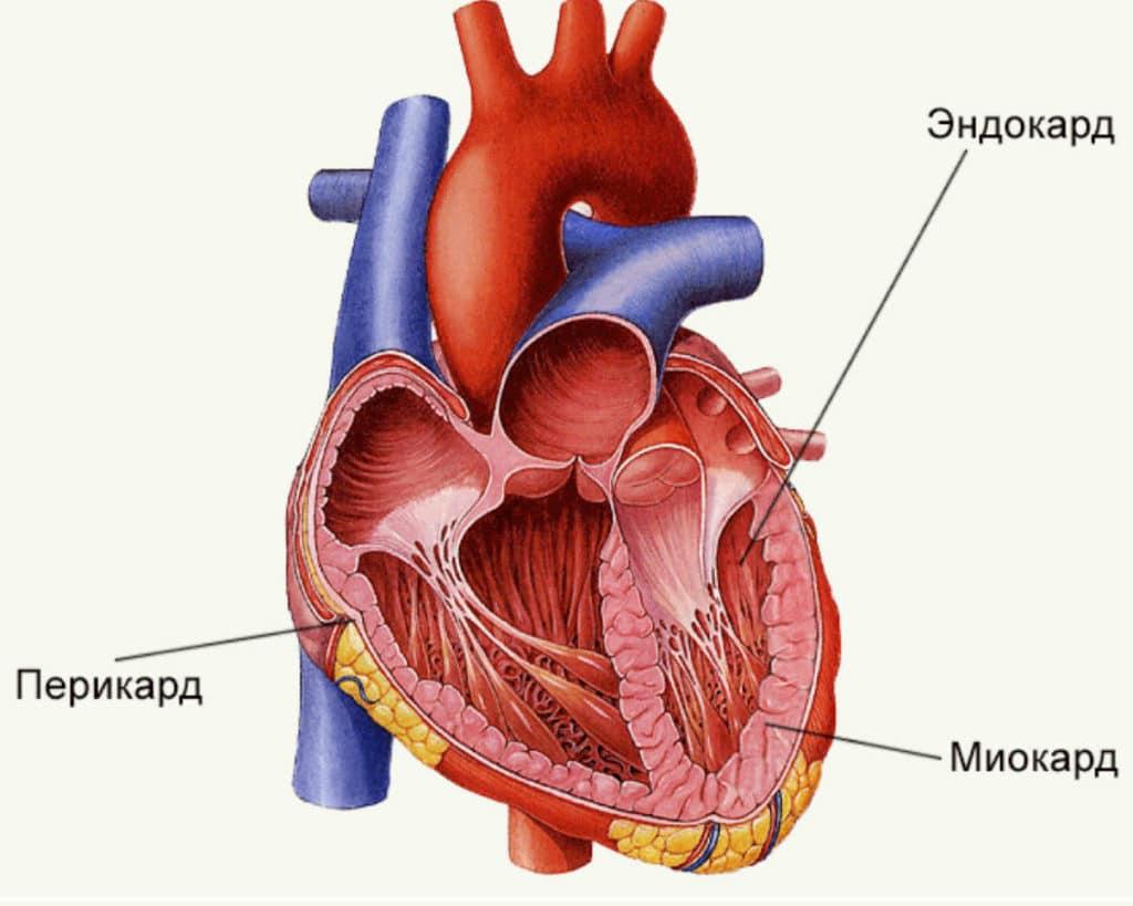 Анатомическое расположение миокарда сердца