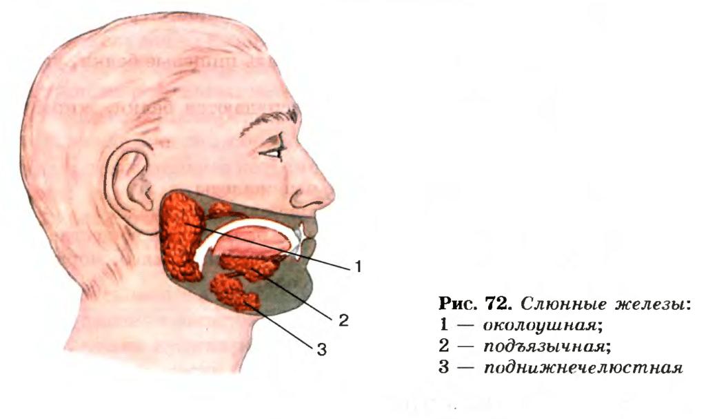 Анатомическое расположение слюнных желез